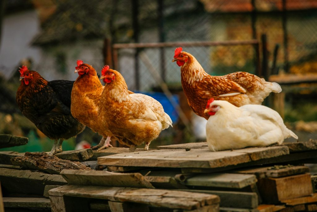 A Strategy For Easy Chicken Coop Cleaning and Odor Control