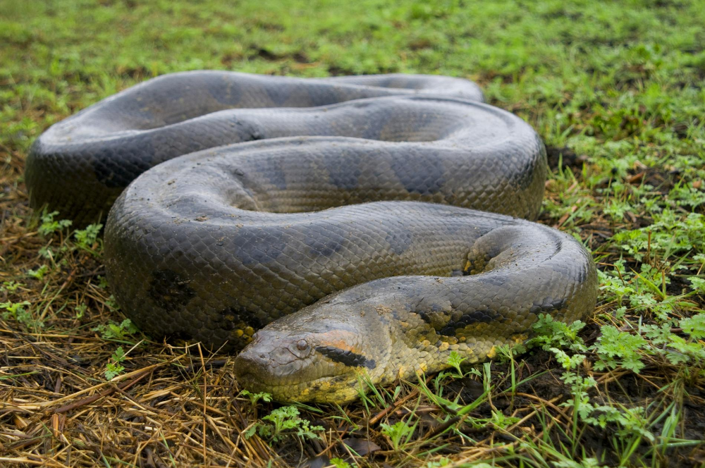 Biggest Anaconda Snakes Found – Some Facts About It!