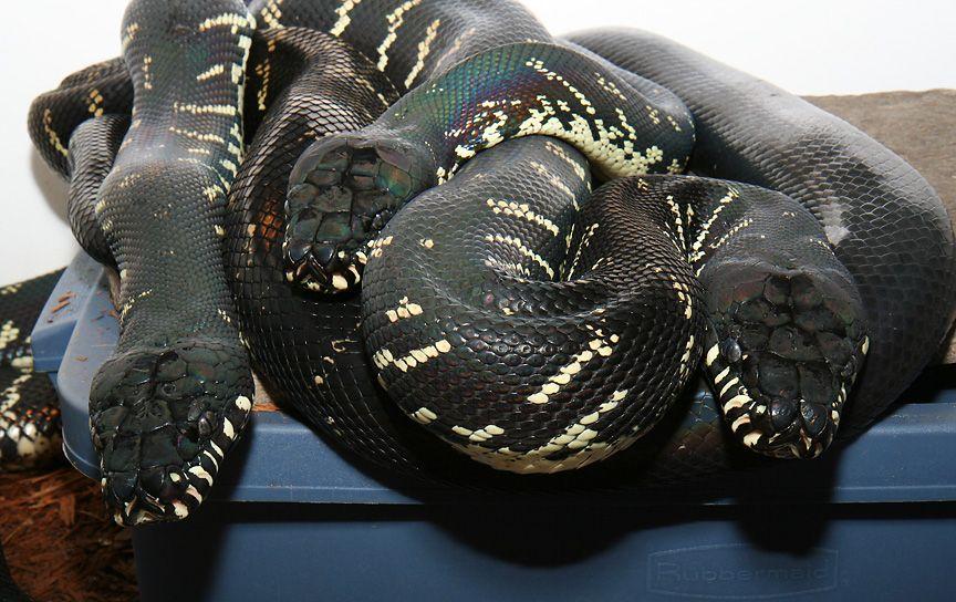 The Boelen's Python Habitat