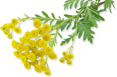 Get a Natural Allergy Relief From Blue Tansy