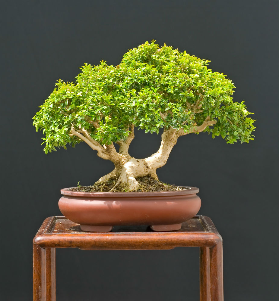 Bonsai Is a Fascinating Living Craft