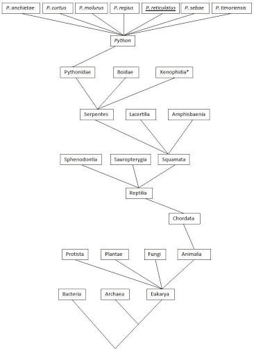 Taxonomic Kingdom of Ball Pythons